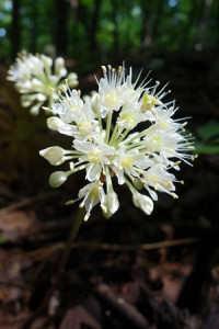 Wild leeks blooming at Eagle's Crest