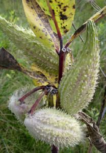 Flatwoods Milkweed Pods