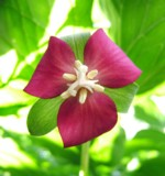 Beck's Mill woods are blanketed in spring wildflowers. Pictured is Purple Nodding Trillium.