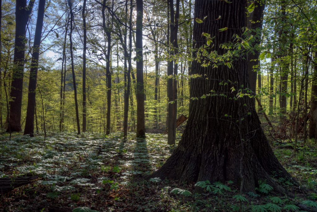 Large tree near Big Walnut Creek.