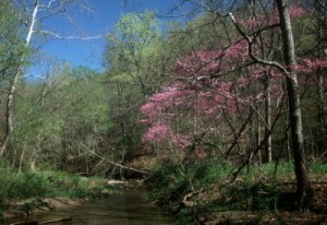 The Adena Trace is known for its ubiquitous Redbud blooms in springtime