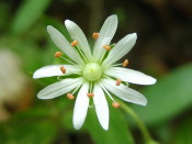 Some areas along the Tecumseh Trail are blanketed by Star Chickweed in the spring.