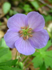 Wild Geranium color the forest floor in spring along the Tecumseh Trail